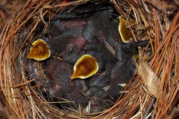 Fotoväggar - Hungry Baby Birds - House Wrens