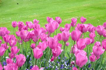 par-terre de tulipes roses