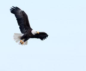 Garden Poster Eagle Bald eagle in flight