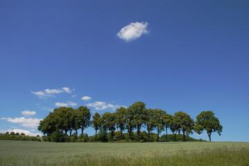 Wall Mural - Lindenbäume vor blauem Himmel