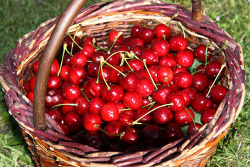 fresh red cherry in creel