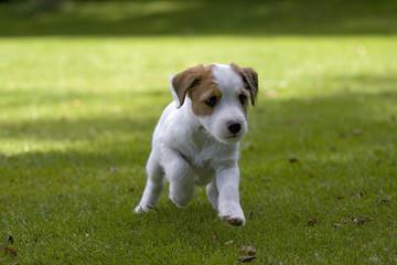 Parson Jack Russell Terrier Jack Russel Terrier Welpe