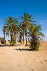 Palms in the desert | Morocco