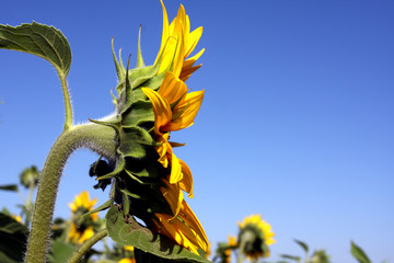 sunflower and blue sky background
