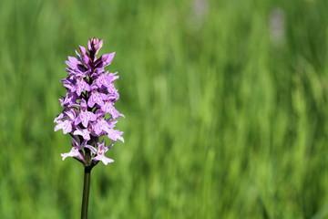 Solitay Orchidea