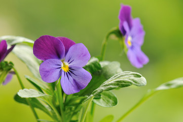 purple pansy flower with soft green background