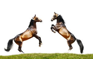 Wall Mural - two stallions isolated