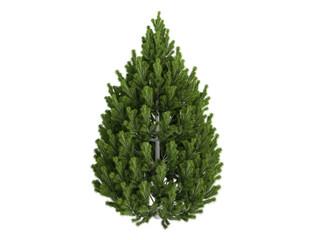 Pine (Pinus leucodermis)