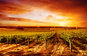 Wall Mural - Amazing Vineyard Sunset