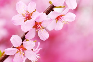 Wall Mural - Pink Blossom