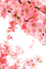 Wall Mural - Pink Blossom Isolated on White