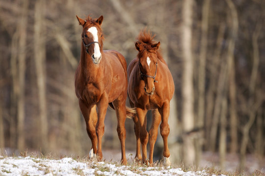 Thoroughbred race horses on farm running in morning snow.