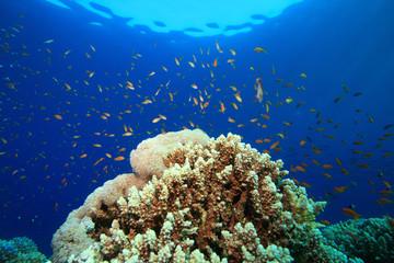 Lyretail Anthias above Coral Reef