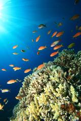 Lyretail Anthias above Acropora Corals