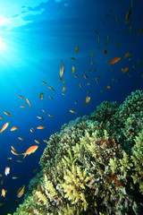Coral Reef and Tropical Fish in Blue Water