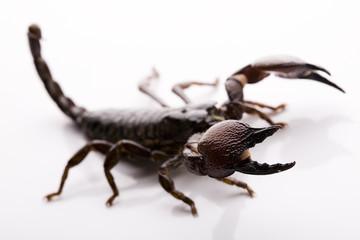 Emporer Scorpion
