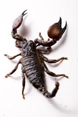 Scorpion - isolated on white