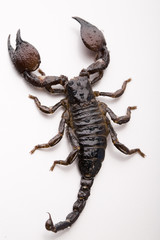 Scorpion on the white background