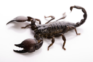 Scorpion - isolated on white