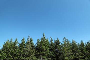 Fir trees with blue sky