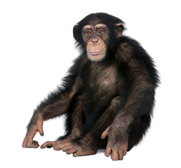 Foto op Aluminium Aap Young Chimpanzee - Simia troglodytes (5 years old)