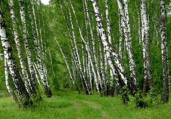 Spoed Foto op Canvas Berkbosje birch forest