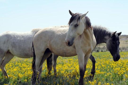 three wild Spanish Mustangs in wildflowers