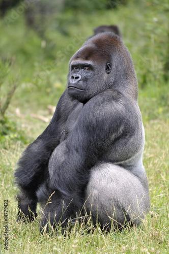 """Sehr Gorille """"dos argenté"""""""" photo libre de droits sur la banque d  SN96"""