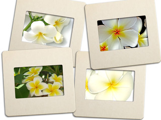 des diapositives de fleurs de frangipanier