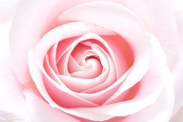 pink rose in closeup