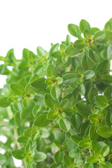 Lemon-Scented Thyme