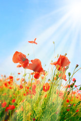 Poppy field background