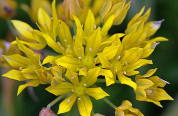 Allium moly Jeannine, Gelber Zierlauch