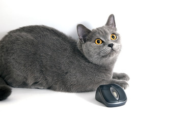 british blue cat with wifi mouse isolated