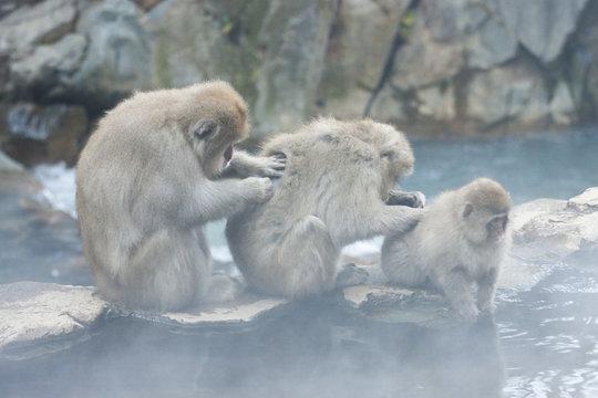 Snow monkeys grooming in hot spring in Jigokudani, Japan