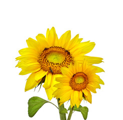 Two beautiful sunflowers, isolated