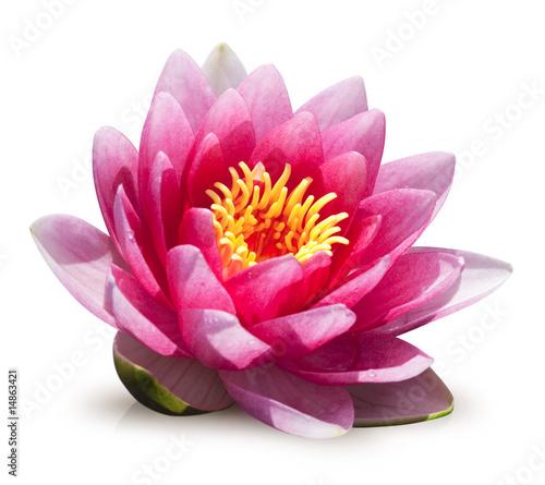 Fleur de lotus sur fond blanc photo libre de droits sur la banque d 39 images image - Image fleur de lotus ...