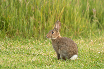 a baby wild rabbit