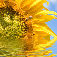 sunflower and bee on the blue sky background