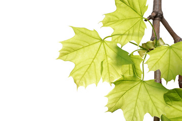 green maple leaves on a branch isolated