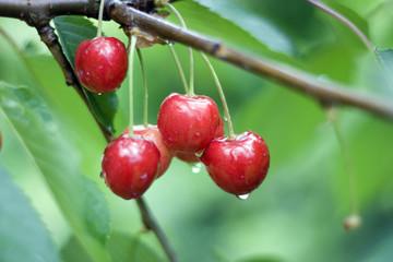 Fotobehang Vruchten cherries