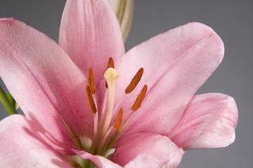 Garden Poster Lotus flower Pink lily