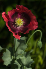 Opium poppy with red flowers