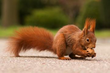 Red squirrel with walnut - Eichhörnchen
