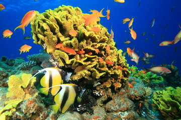 Leafy Cup Coral and Red Sea Bannerfish