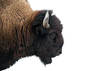 American Bison in Yellowstone National Park isolated on white