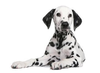 Fototapete - Dalmatian puppy