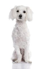 maltese dog (2 years old)