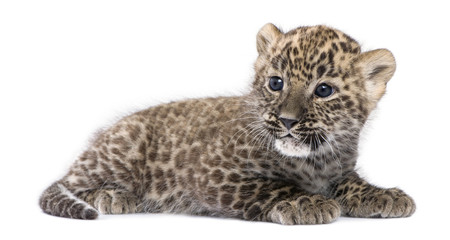 profile of a Persian leopard Cub lying down (6 weeks)