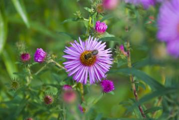 Wespe auf Blume